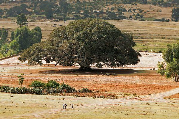 Maulbeerfeigenbaum in Äthiopien
